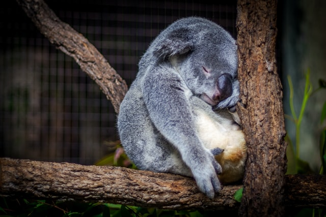 寝るコアラ
